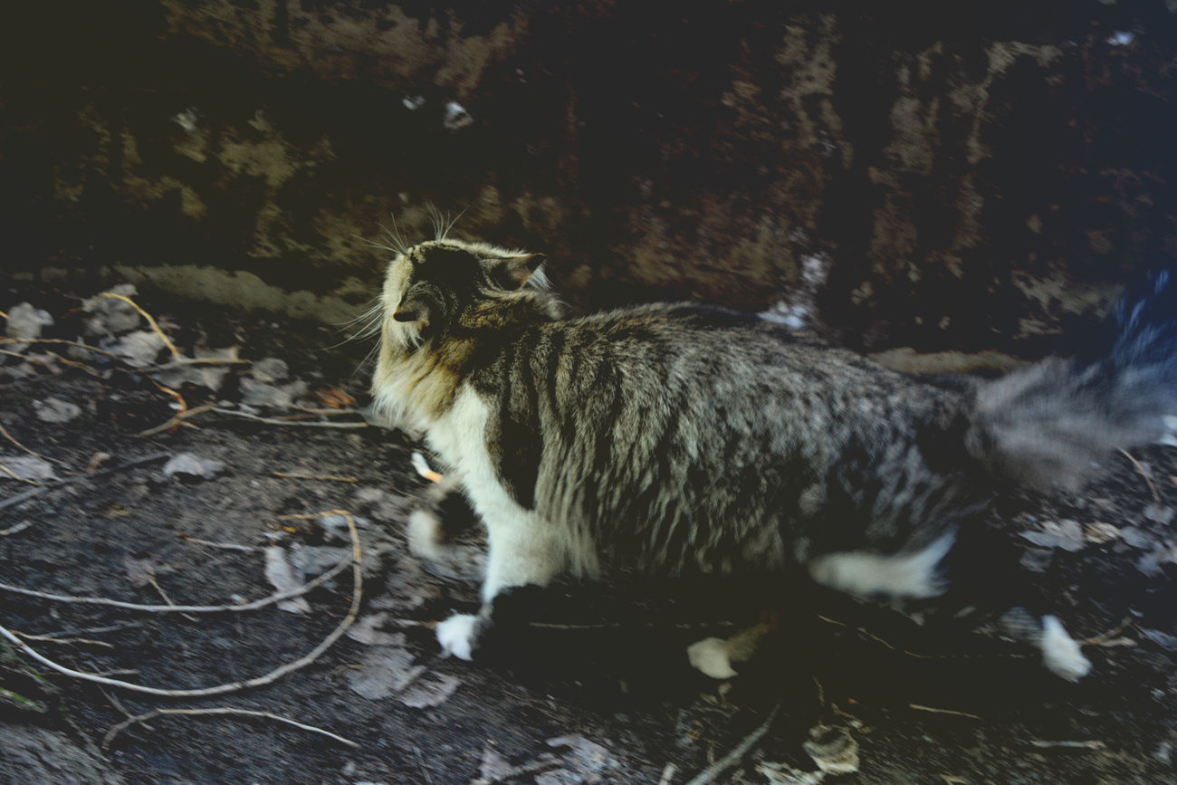Animal Themes One Animal Mammal No People Full Length Animals In The Wild Outdoors Domestic Animals Day Feline Raccoon Movement Rainbow Colors Cats Of EyeEm Dark Multicolor Lomography Domestic Cat Pets