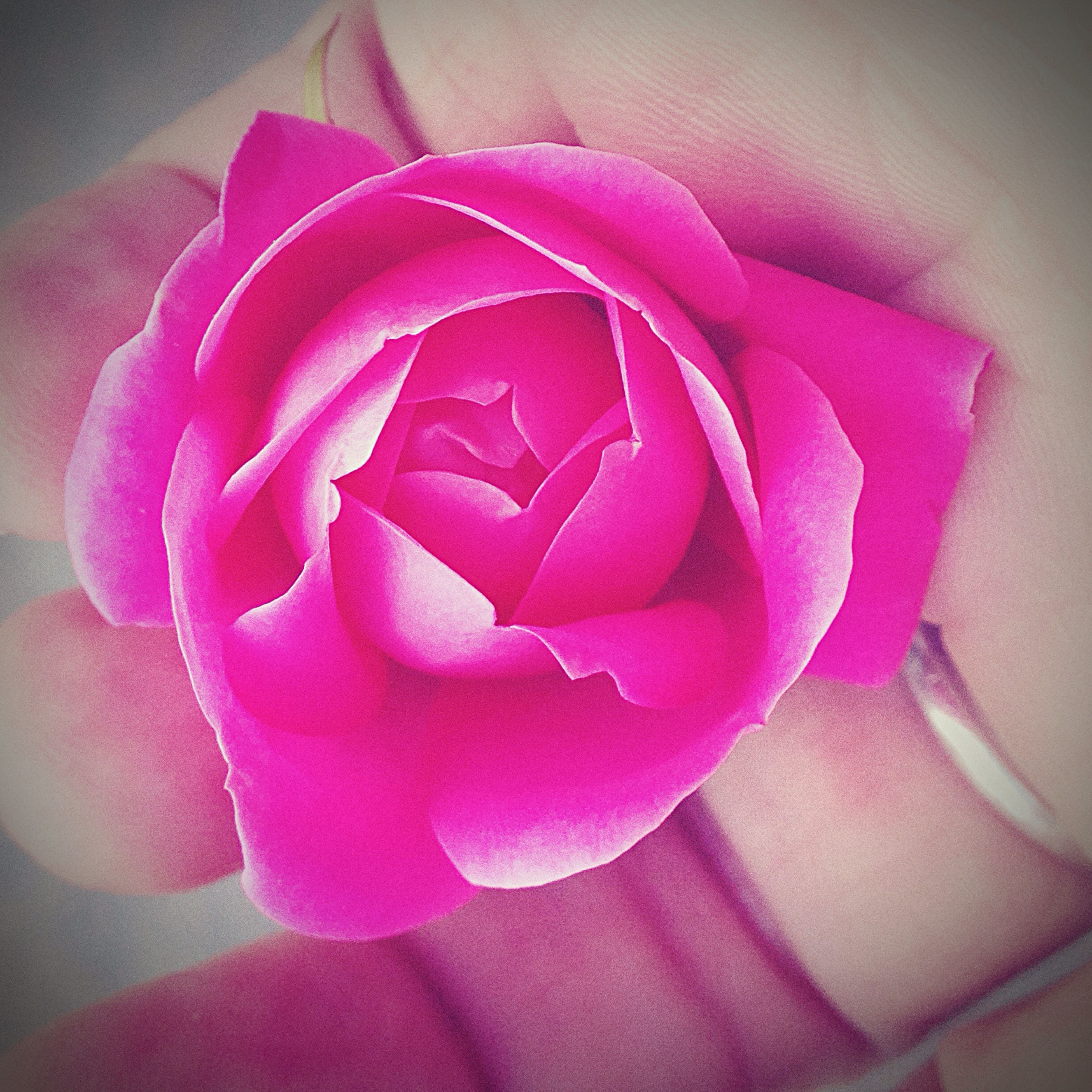 flower, indoors, pink color, petal, close-up, rose - flower, flower head, fragility, freshness, rose, love, red, pink, high angle view, home interior, purple, single flower, wall - building feature, focus on foreground, no people