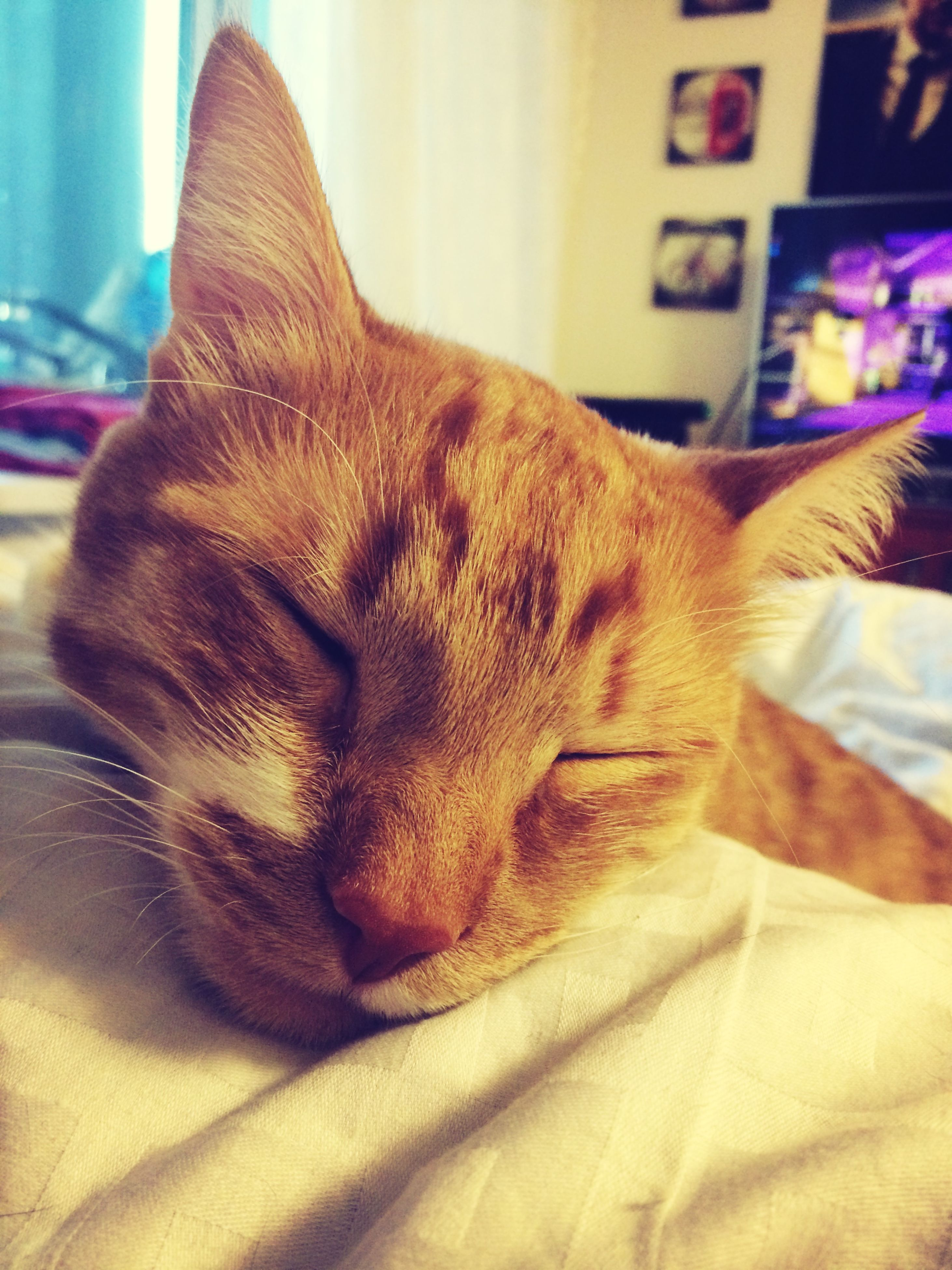 indoors, domestic animals, pets, one animal, mammal, animal themes, relaxation, sleeping, resting, lying down, bed, close-up, home interior, eyes closed, domestic cat, animal head, cat, dog, feline, home