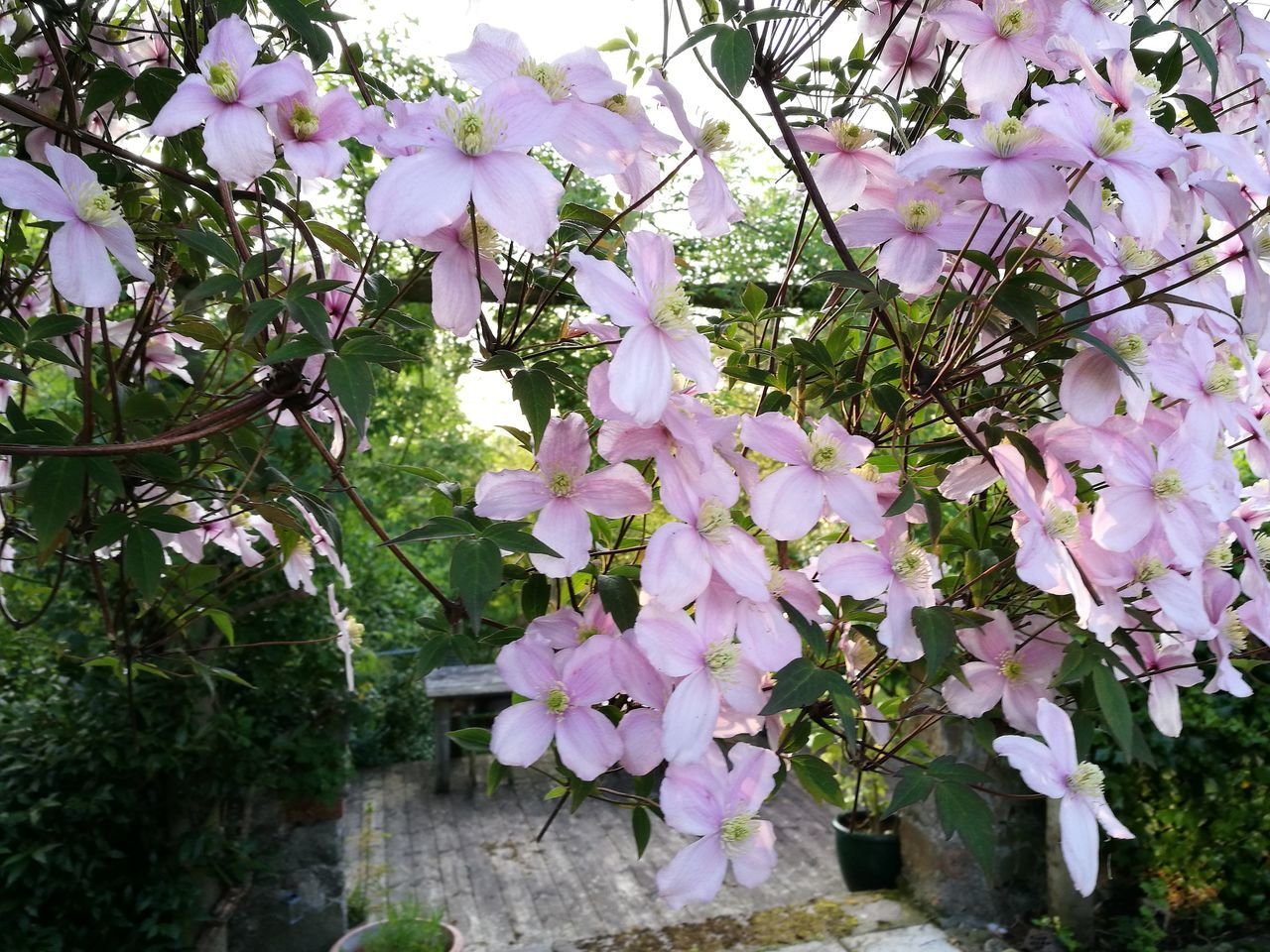 Garden Clematis Flower Clematis Montana Our Scottish Garden Outdoors Flowers Blooming Close-up Full Bloom