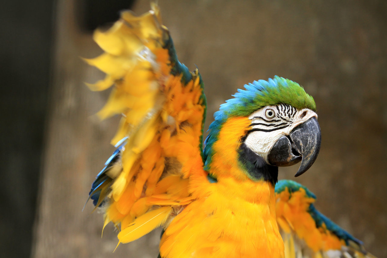 Macaw Animal Themes Animal Wildlife Animals In The Wild Beauty In Nature Beuty Beuty Of Nature Bird Birds_collection Close-up Colors Day Gold And Blue Macaw Macau Macaw Moult Nature No People One Animal Outdoor Outdoors Parrot Spread Wings Wings Yellow