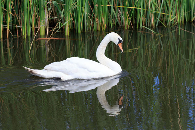 Animal Animal Themes Beauty In Nature Bird Lake Reflection Swan Swans Water Water Bird Waterfront White White Color Wildlife Zwaan Frisian Friesland Canon Canon EOS 7D Mark II Netherlands Tamron 150-600 Tamron Animal Photography Vogels Vogel