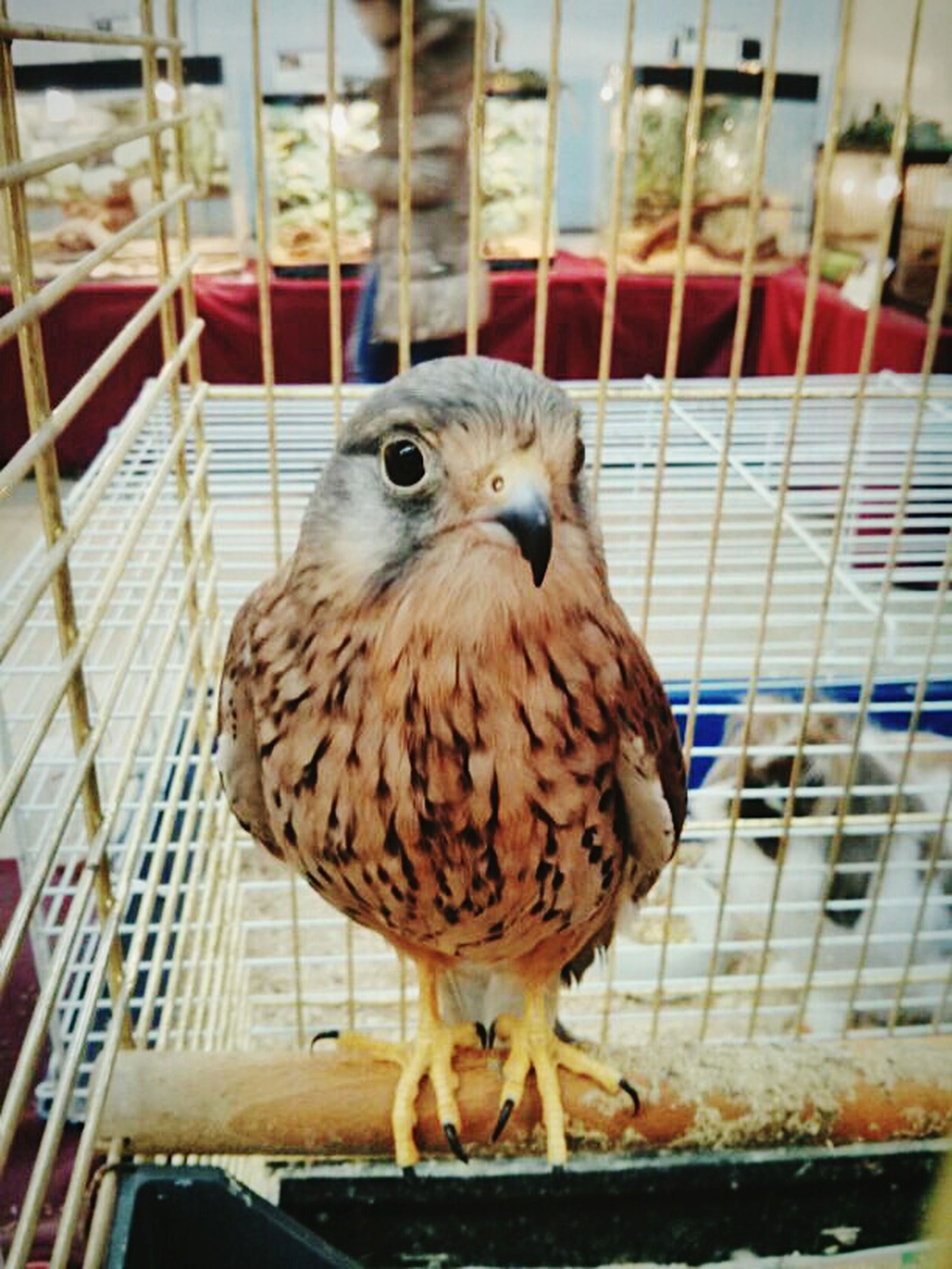 animal themes, bird, one animal, cage, focus on foreground, close-up, indoors, perching, wildlife, animals in the wild, birdcage, beak, looking at camera, railing, full length, no people, animals in captivity, animal head, portrait