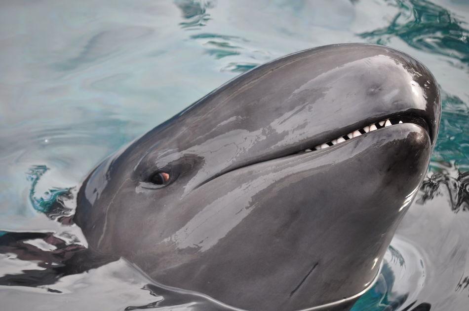 False Killer Whale Animal Head  Close-up Dolphin False Killer Whale Killer Whale Nature Pseudorca Crassidens Vancouver Aquarium Water