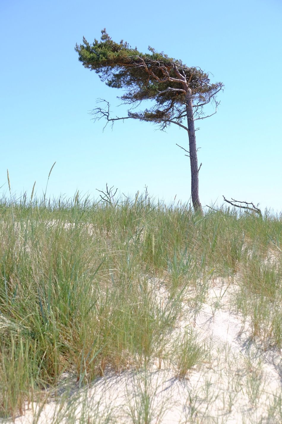 Lonely tree on sand dune Nature Growth Tree Grass Tranquility Tranquil Scene Plant Clear Sky Outdoors Beauty In Nature No People Scenics Day Landscape Beach Marram Grass Sky Sand Dune Beach Photography