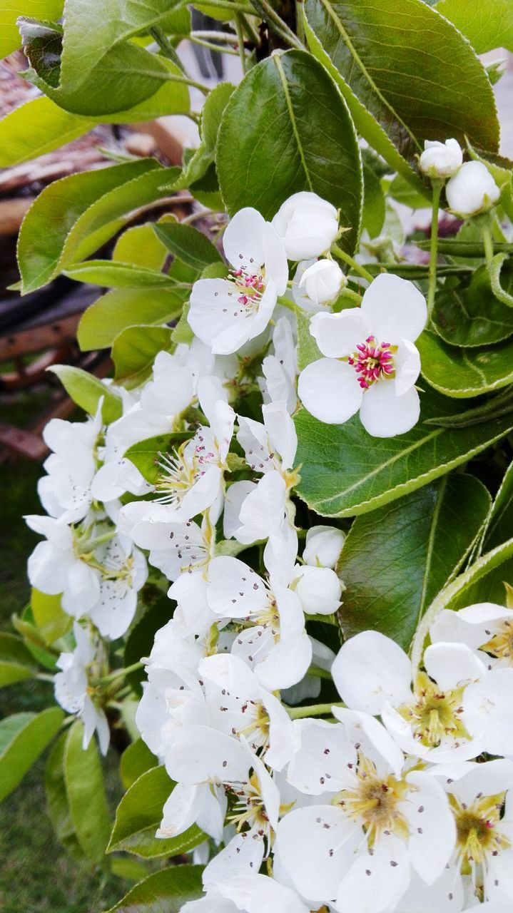 flower, white color, growth, fragility, beauty in nature, petal, freshness, blossom, nature, apple blossom, flower head, stamen, springtime, green color, day, no people, close-up, outdoors, plant, leaf, one animal, tree, blooming, animal themes, branch