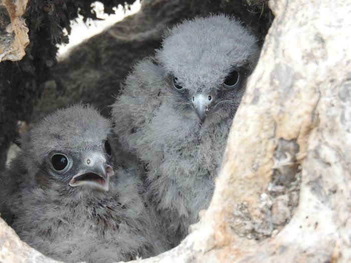 Feed me Kestrel Chicks Kestrel Young Bird Young Animal Bird Bird Photography Bird Of Prey No People Close-up Nature