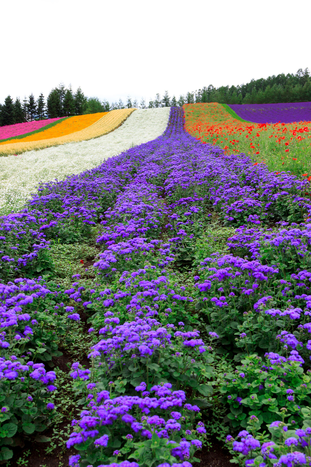 Lavender and other flowers bloom like a carpet Agriculture Beauty In Nature Day Field Flower Flowerbed Freshness Furano Growth Landscape Multi Colored Nature No People Outdoors Plant Purple Rural Scene Scenics Sky Tranquil Scene Tranquility Tree