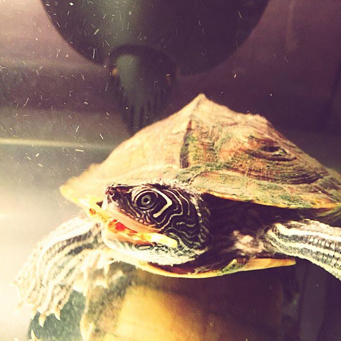 Turtle Terrapin Michelangelo Fire Eater