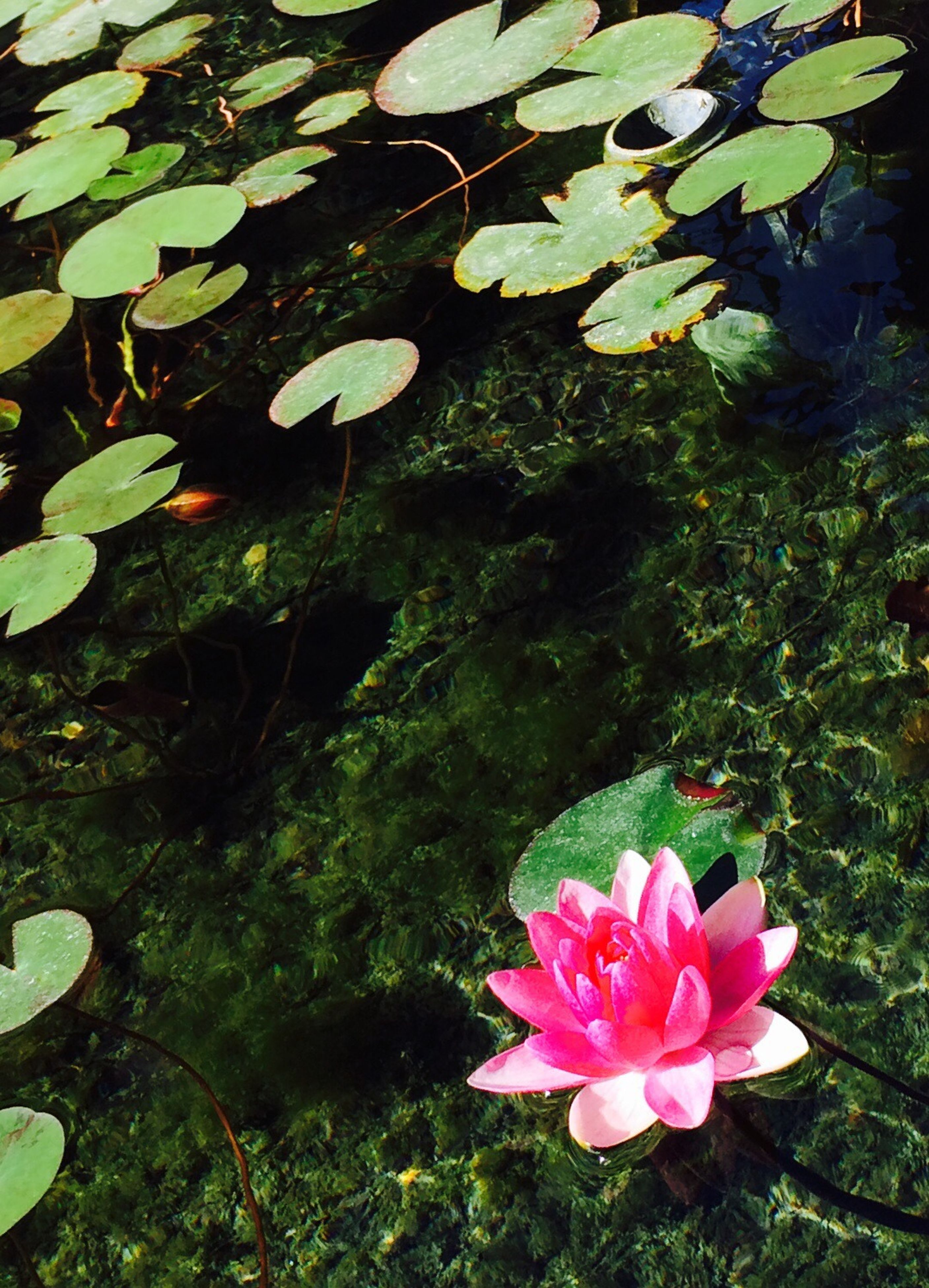 flower, petal, freshness, growth, fragility, pink color, flower head, beauty in nature, leaf, blooming, nature, plant, high angle view, green color, blossom, in bloom, pond, water lily, springtime, day