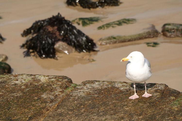 Bird Seaside Seagull Sand Seaweed Single Bird Coast Sea Wall