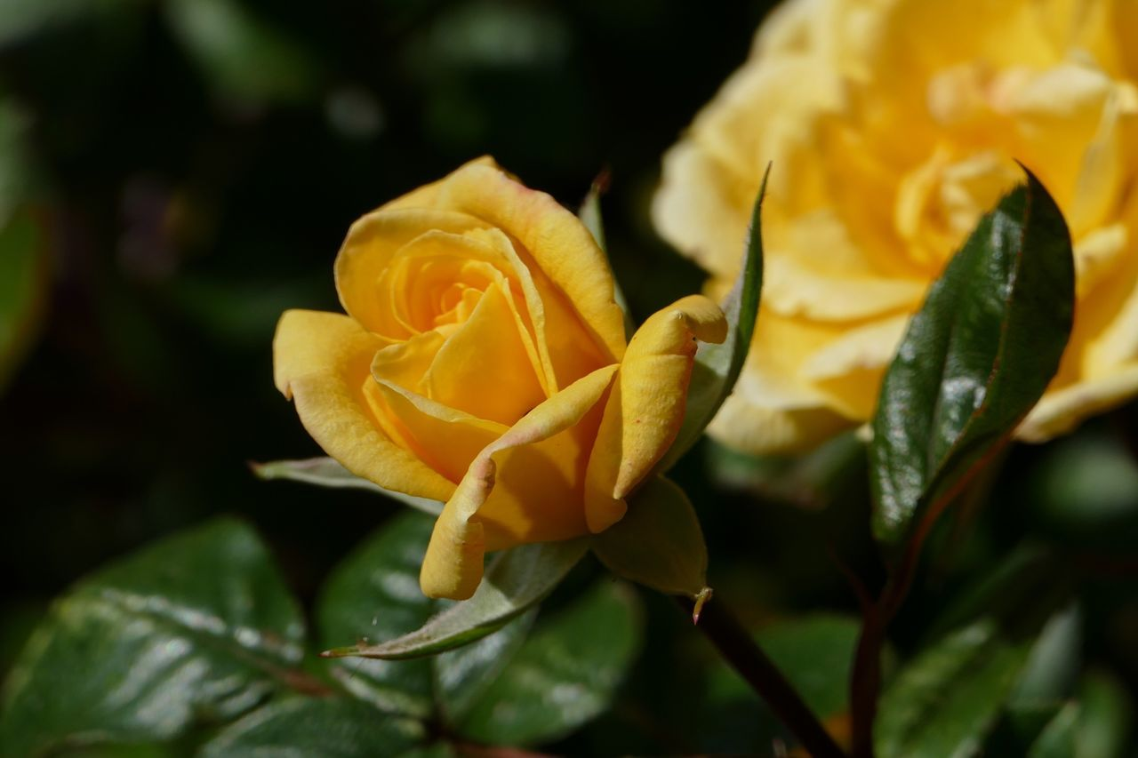 Yellow Yellow Flower Yellow Rose Roses Rose🌹 Rose Bud Rosebud Nature's Diversities Flowers,Plants & Garden Natures Diversities My Garden @my Home LUMIX DMC FZ1000 Flowers, Nature And Beauty Flower Collection My Garden Flowers