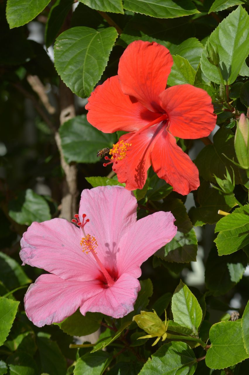 flower, petal, flower head, fragility, growth, nature, beauty in nature, plant, freshness, hibiscus, outdoors, day, stamen, blooming, no people, leaf, red, pink color, close-up, petunia, day lily, periwinkle