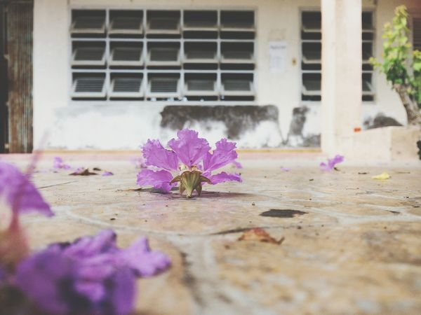 Window Flower Purple Building Exterior Architecture Built Structure Pink Color Day No People Outdoors Nature Flower Head Water Close-up Likesforlikes Phuognhy Like4like Nature Photography Likeforlike Nature Beauty Freshness Tree Fragility Selective Focus Nature