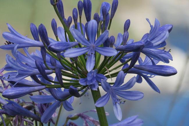 Agapanthus Beauty In Nature Blooming Blue Botany Flower Flower Head Fragility Freshness Petal Plant