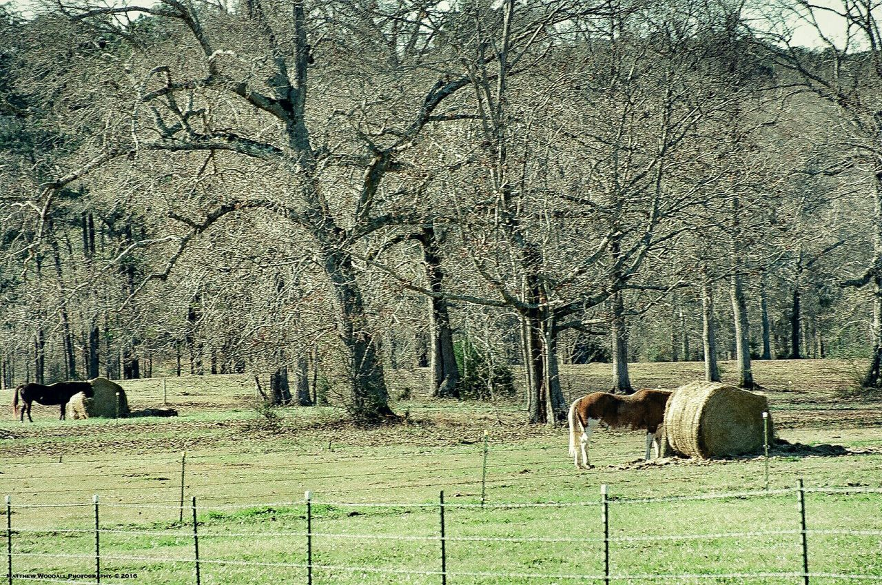 Two horses feeding. I took this photo with my film camera about six weeks ago when it was still very cold. I'm hooked on film photography now. I love the lenses on my Minolta Maxxum. The best one is 75-300. Ranch Life Horse Life Country Life Horse Love Horse Photography  Big Oaks Film Photography Filmisnotdead Filmcamera Minolta Maxxum Minolta X300 Minolta Lenses