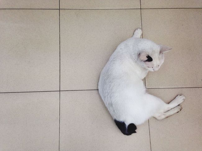 White cat in seven White Cat 7-11 Thai Street Cat Cool Cat Happy Sleep Clever Cat Sleeping In Air Condition Samut Prakan Thailand Factory Area Business Town