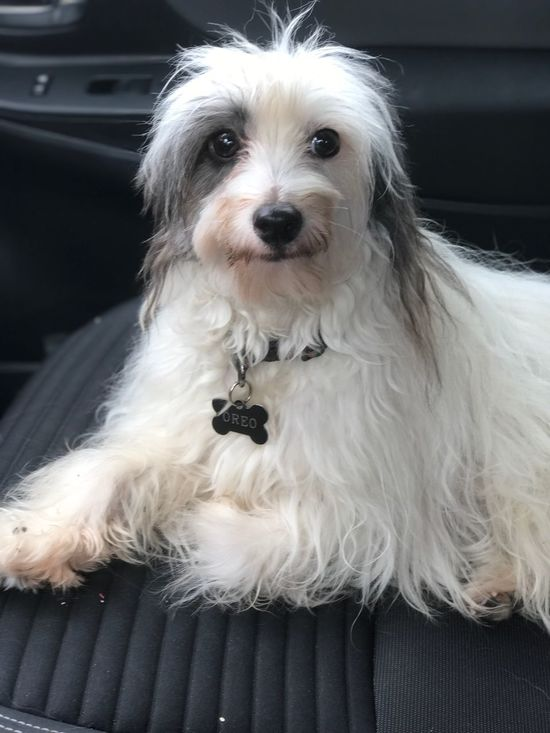 EyeEm Selects Dog Mammal Domestic Animals Pets Car Looking At Camera One Animal Animal Themes Portrait Sitting Day No People Close-up Indoors  Chinese Crested Powder Puff Chinese Crested Dog Chinese Crested