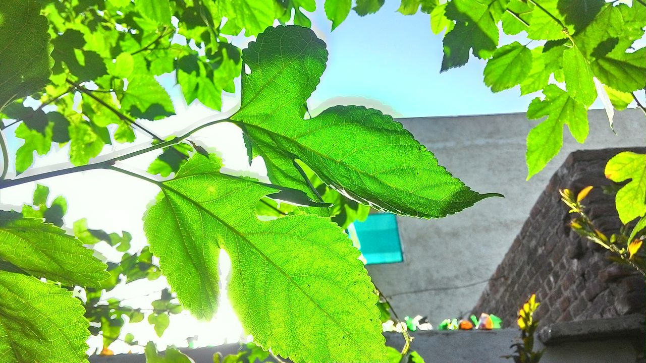 Green Leaf Asus Shot PARAMETERS Sunlight CROOSING THE SPECTRUM 😊🌿🌞 nature_collection