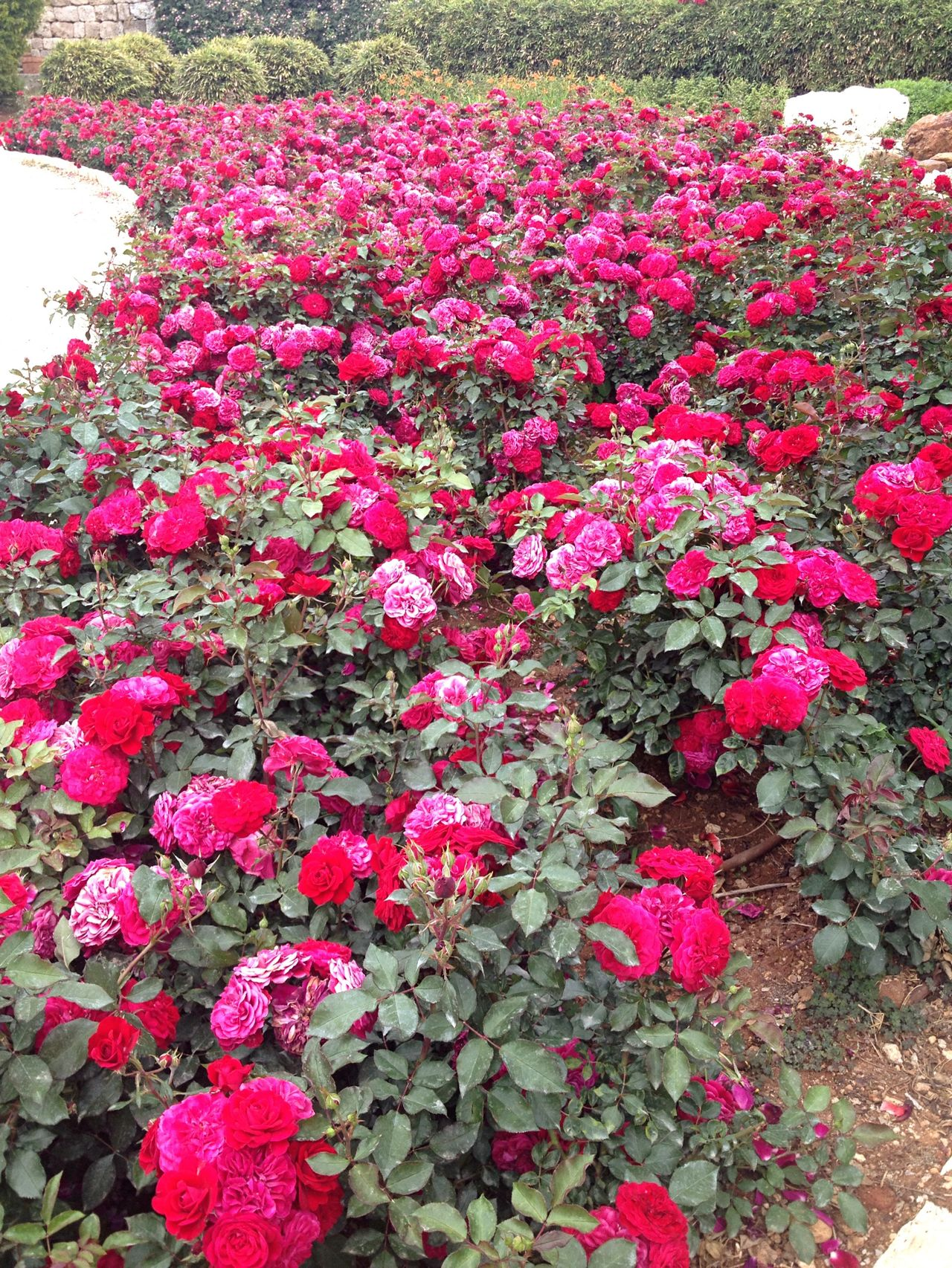Rose Garden Flower Beauty In Nature Pink Color Outdoors No People
