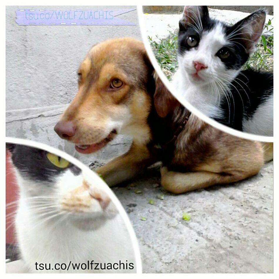 @wolfzuachis Collage Photo Collage TSU Pufosenii Animals Slushious Fluffys Pufosi Mypets