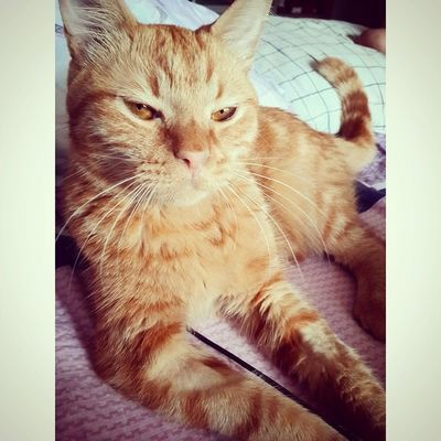 Пришел котеофедорелли и нагло сдвинул меня. Пришлось просыпаться )Goodmorning Cat Catsofinstagram catslife catstagram