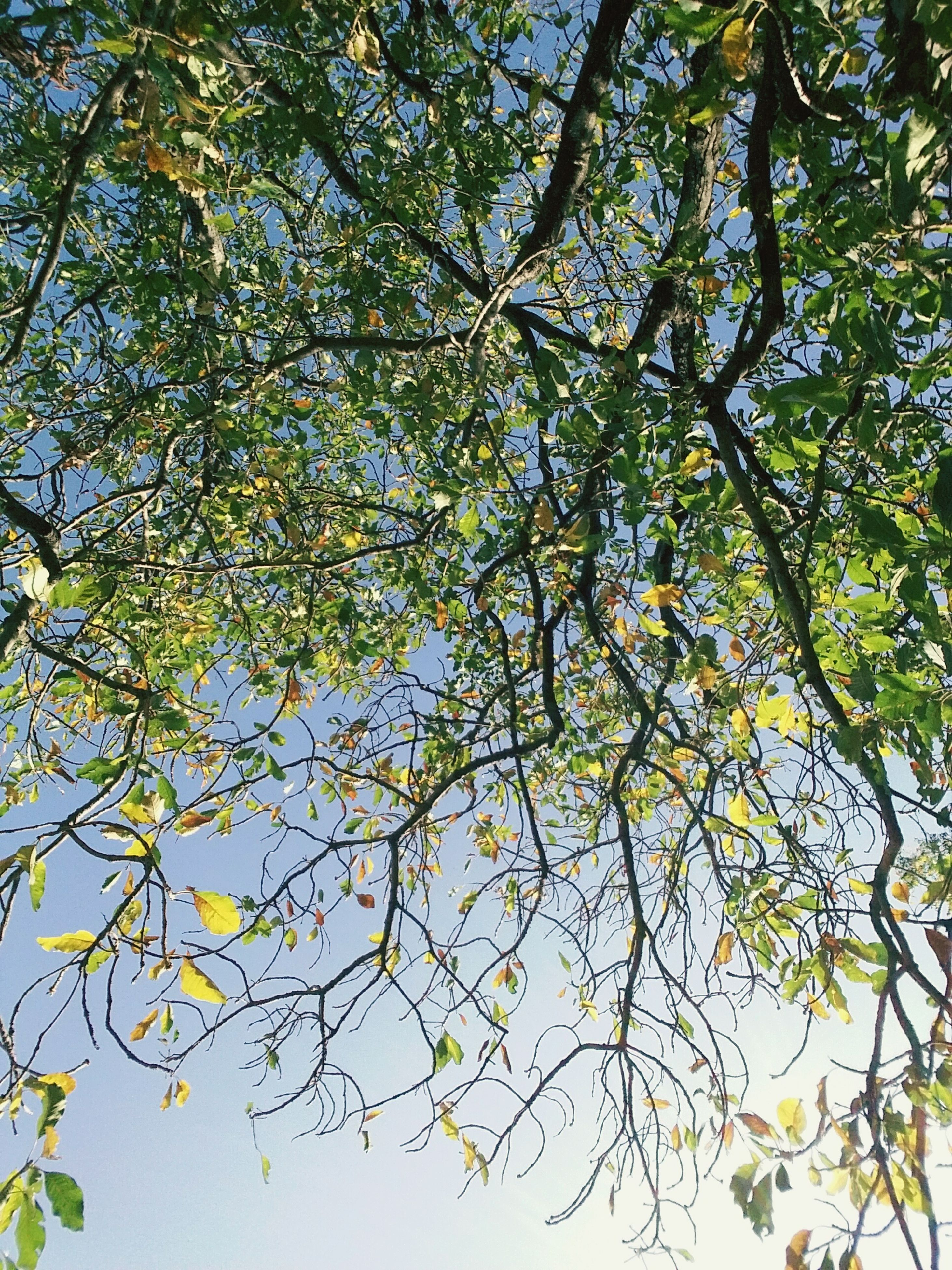 tree, branch, low angle view, growth, nature, beauty in nature, leaf, tranquility, yellow, green color, outdoors, day, no people, sunlight, sky, scenics, clear sky, autumn, tranquil scene, lush foliage