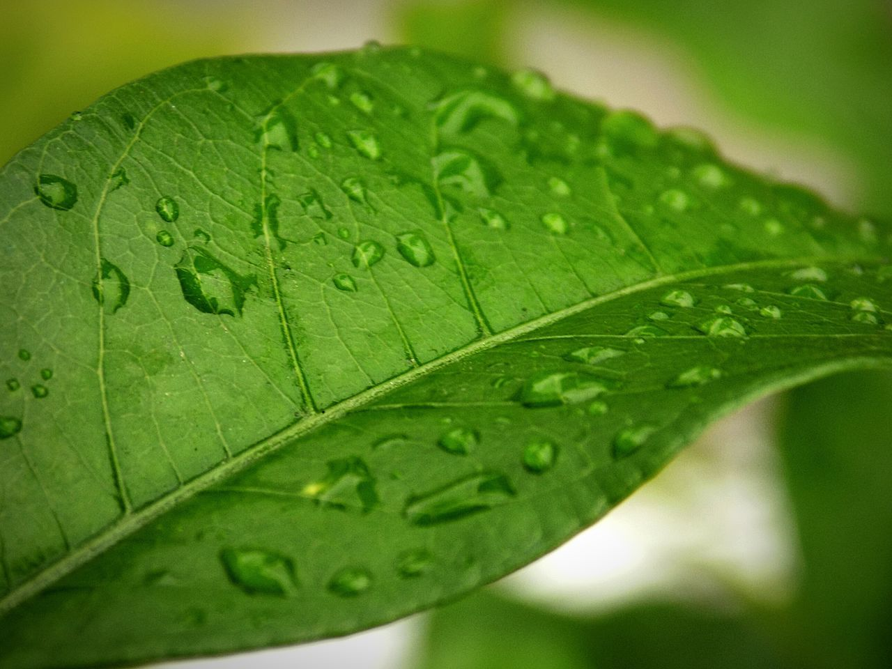 Raindrops on Leaf 🍂 on a Rainy Day @ Guwahati Nature_collection EyeEm Nature Lover Ordinary Objects Water_collection On My Balcony Monsoonseason
