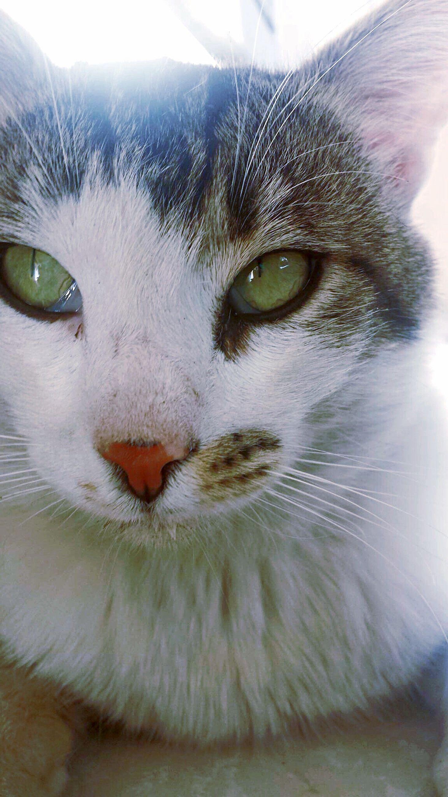 pets, domestic animals, domestic cat, one animal, cat, animal themes, mammal, feline, portrait, looking at camera, whisker, animal eye, close-up, indoors, animal head, staring, alertness, animal body part, front view, focus on foreground