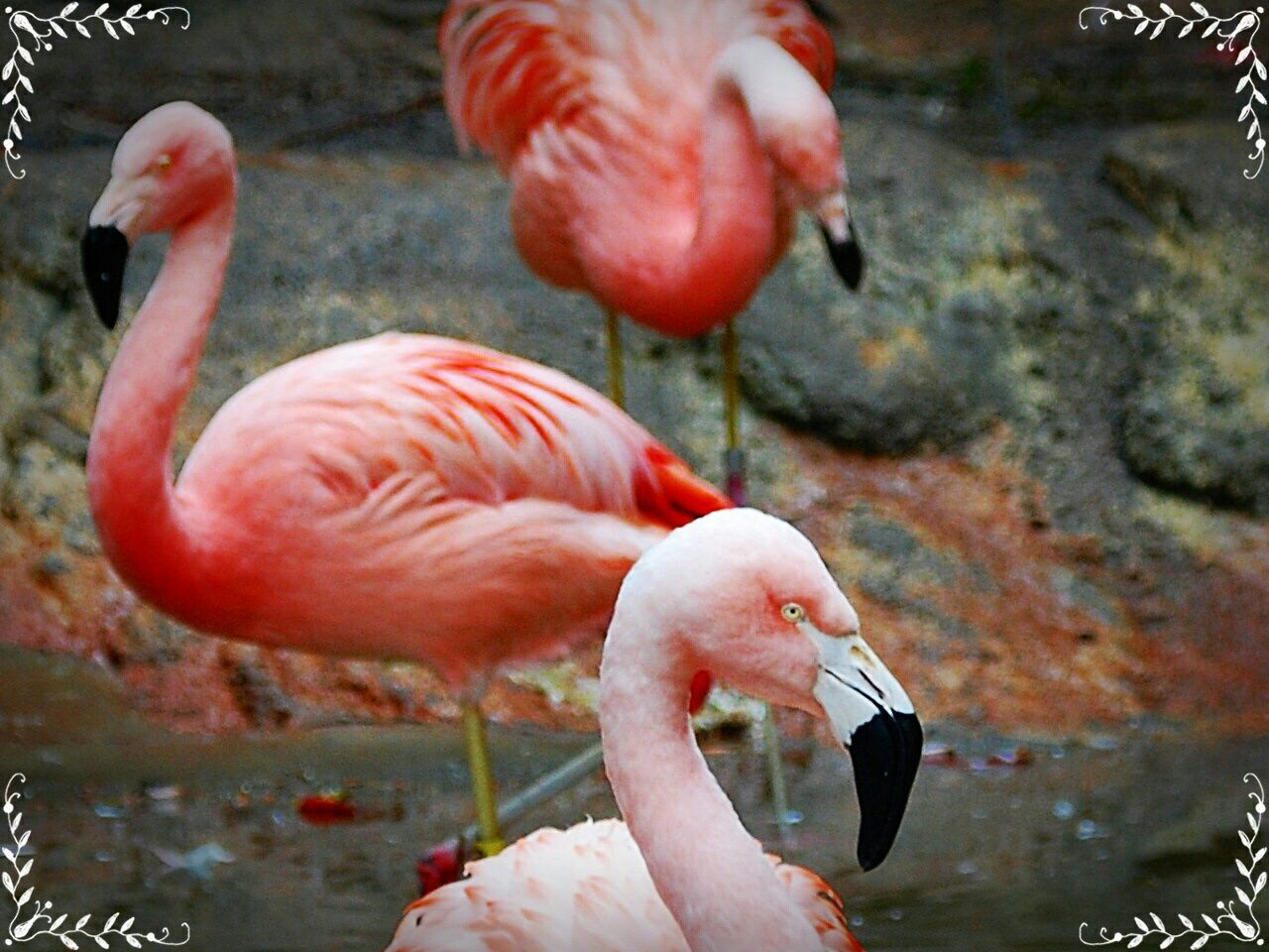 flamingo, bird, animal themes, animals in the wild, no people, water, nature, animal wildlife, focus on foreground, day, pink color, close-up, outdoors, beak, beauty in nature, full length