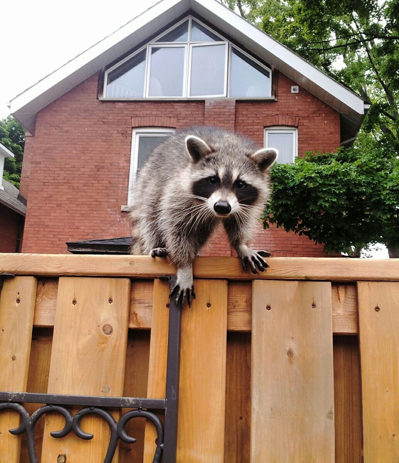 Beautiful stock photos of raccoon, Animal Themes, Animal Wildlife, Animals In The Wild, Architecture