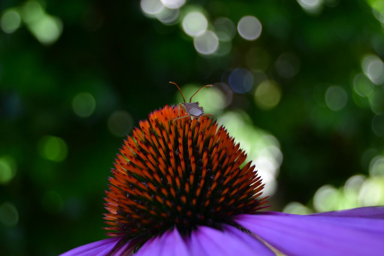 flower, beauty in nature, petal, nature, fragility, freshness, eastern purple coneflower, growth, pollen, flower head, coneflower, close-up, one animal, day, focus on foreground, animals in the wild, outdoors, plant, blooming, no people, animal themes, pollination