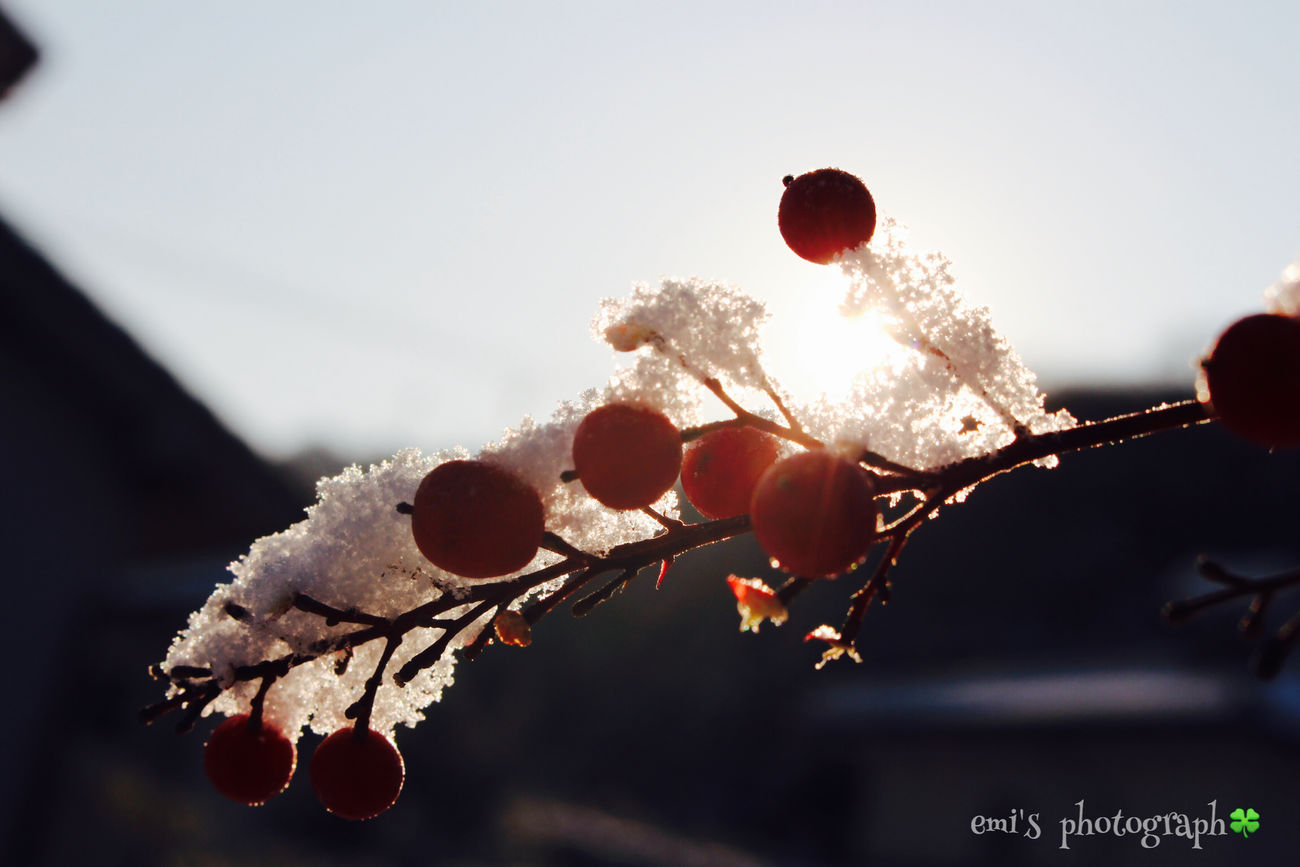 冬の朝.˚೨✻₊⋆ Snow なんてん Enjoying Life Relaxing EyeEm Nature Lover Morning Canon Eoskissx7i 南天 縁起物 Okayama 鳥さんに食べられてるw2016.1.25
