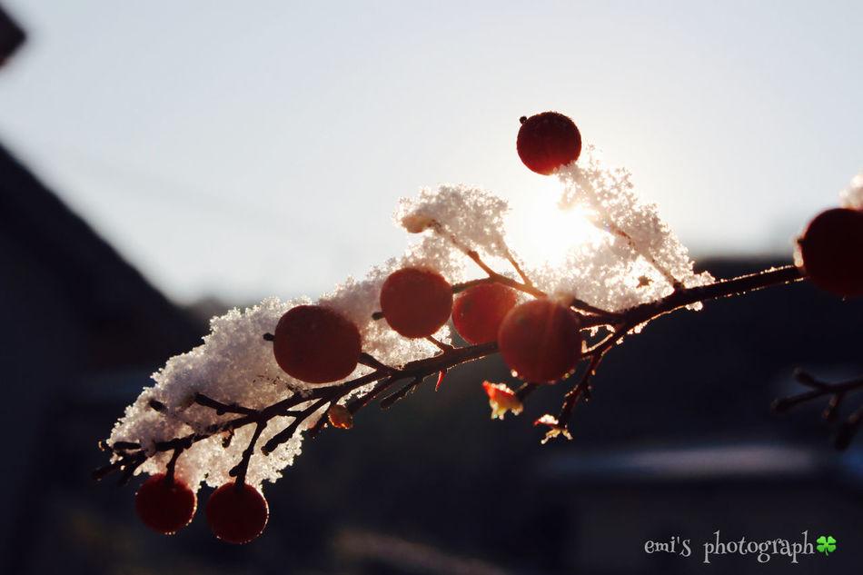 冬の朝.˚೨✻₊⋆ Snow なんてん Enjoying Life Relaxing EyeEm Nature Lover Morning Canon Eoskissx7i 南天 縁起物 Okayama 鳥さんに食べられてるw2016.1.25