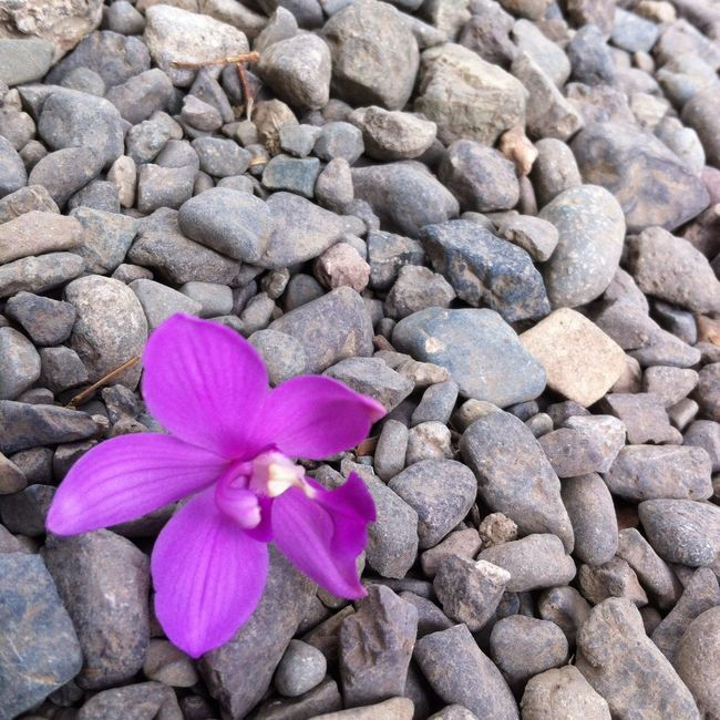Even the best fall down sometimes. Backgrounds Close-up Day Fall Fall Beauty Flower Flowers Freshness Nature No People Organic Pebble Photography Purple Purple Flower Stack Stone Stone - Object
