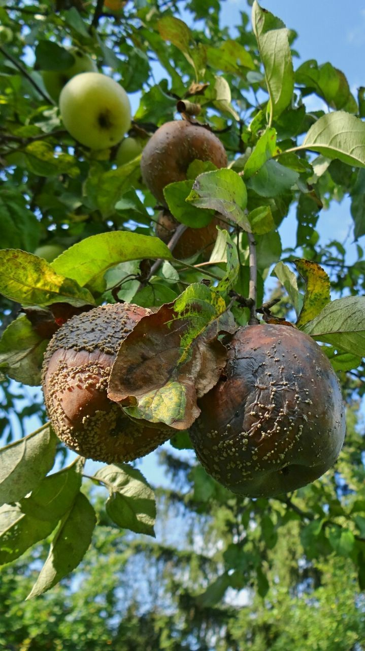 fruit, food and drink, food, growth, green color, leaf, no people, freshness, nut - food, nature, day, healthy eating, tree, low angle view, beauty in nature, agriculture, close-up, outdoors