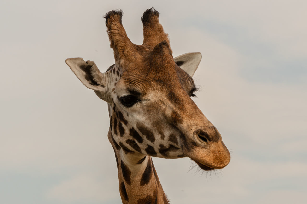 Beautiful stock photos of giraffe, Animal Head, Animal Themes, Animal Wildlife, Animals In The Wild