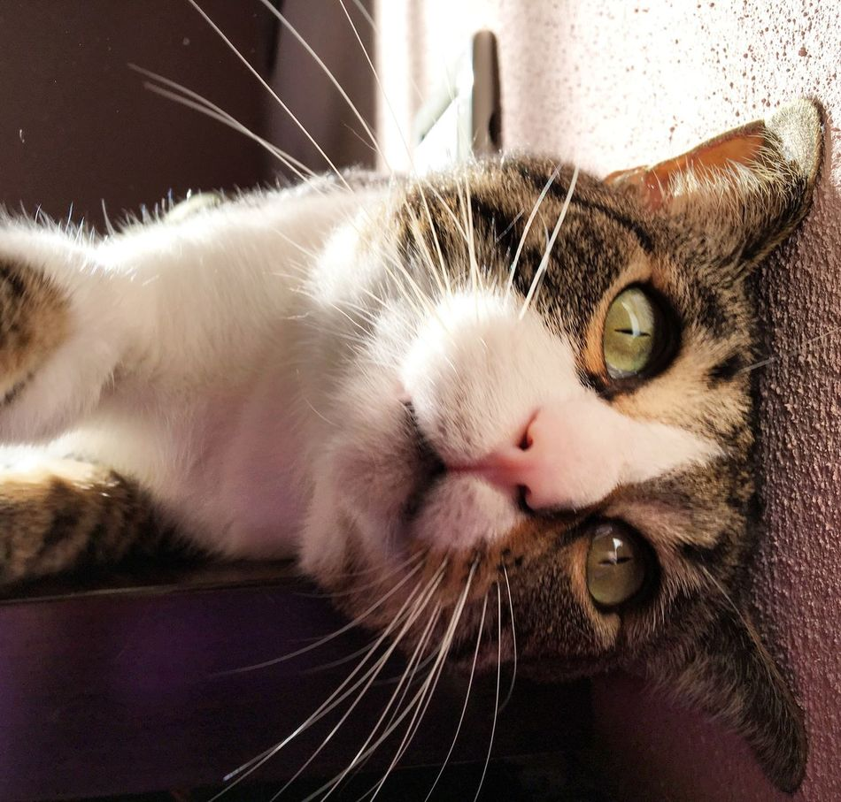 Occhioni belli! Gatto Gatti Cats Of EyeEm Cats Cat Cat Lovers Occhioni Dolci Occhiverdi Lovecats Eyes Eye Pets Micio