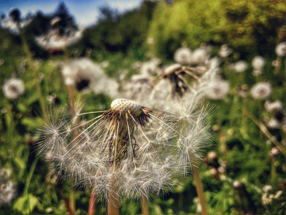 Dandelion Meadow Dandelions Dandelion Macro