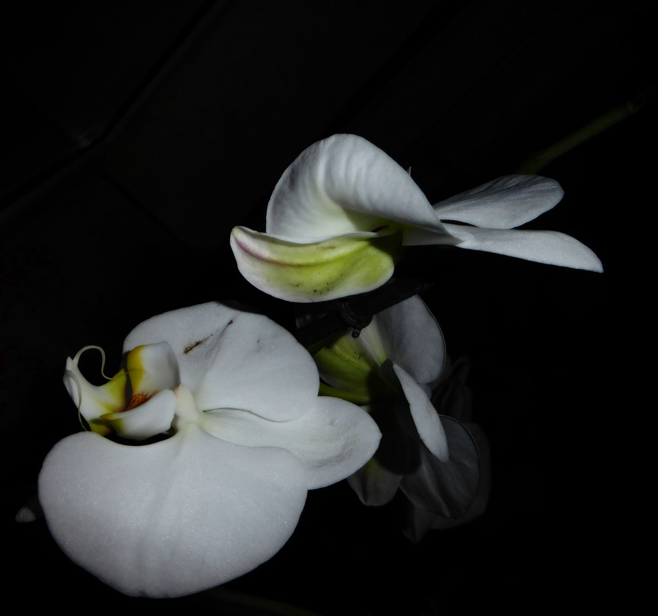 Orchideen Orchid Blossoms Orchid Flower Orchids Unusual View Black Background Close-up Tranquillity Night Shot Nightphtography Contrast In Nature Beauty In December😍 Enjoing Life Simple Beauty Colors Are My Life😍 For My Friends 😍😘🎁