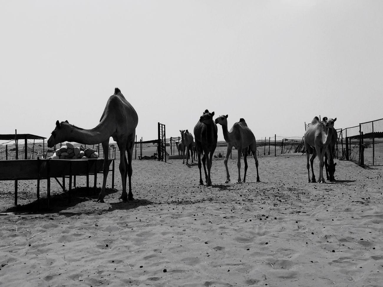 VAE Dubai Dubai❤ Camels Kamel Animals Nature Desert Dunes Sand Animal Interest Camel Black White Blackandwhite Photography Nature Photography Animal Themes Favourite Places Favourite Animal Outdoors Trip Desert Beauty Deserts Around The World Beduines Desert Life