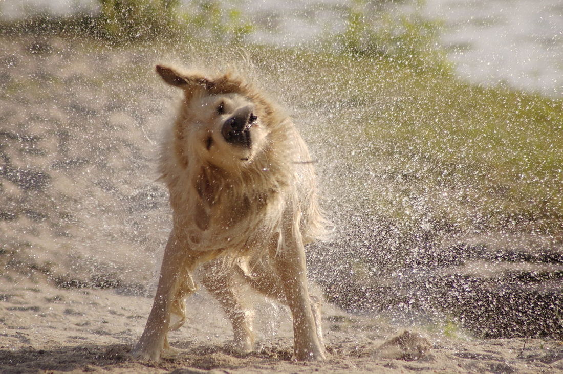 Golden Retriever Waterdrops Dog FUNNY ANIMALS