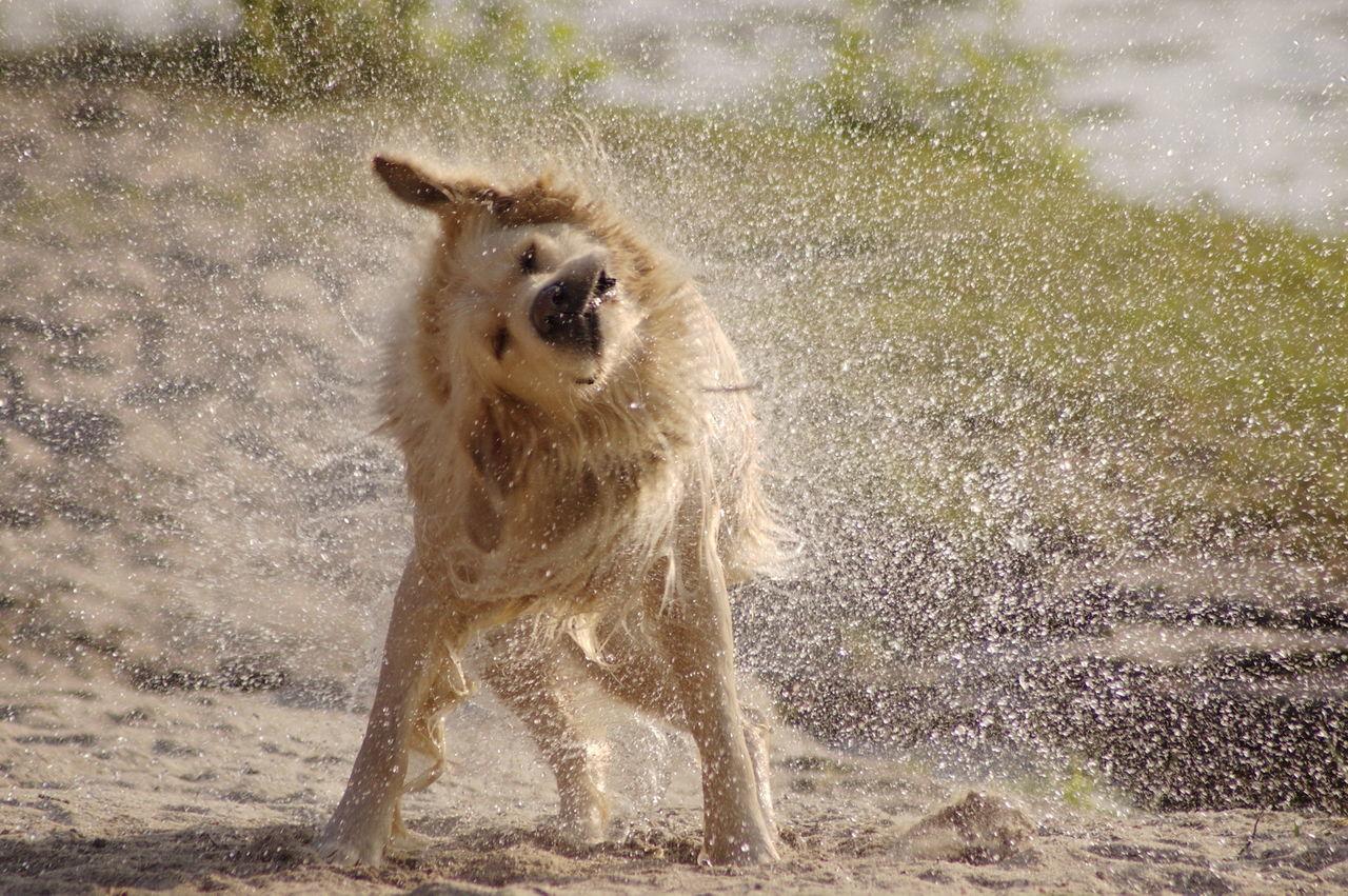 Golden Retriever Waterdrops Dog FUNNY ANIMALS