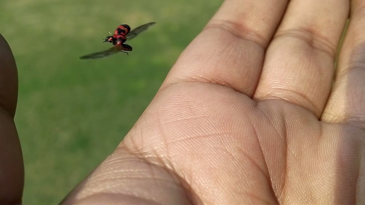 insect, animals in the wild, animal themes, one animal, real people, one person, animal wildlife, human body part, human hand, close-up, outdoors, day, focus on foreground, tiny, nature, people
