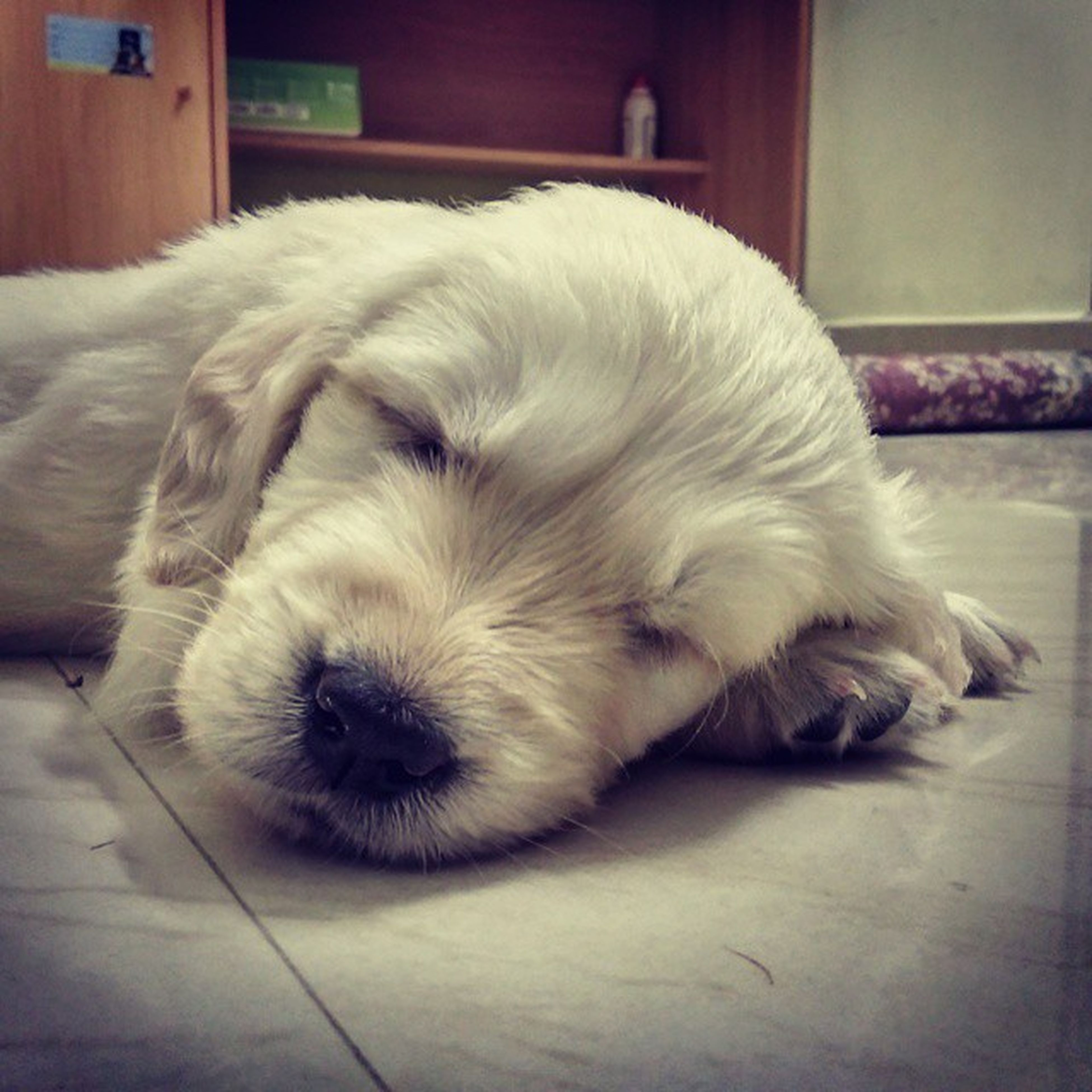 domestic animals, pets, animal themes, dog, indoors, one animal, mammal, relaxation, sleeping, lying down, resting, home interior, close-up, white color, flooring, animal head, eyes closed, no people, home, animal hair