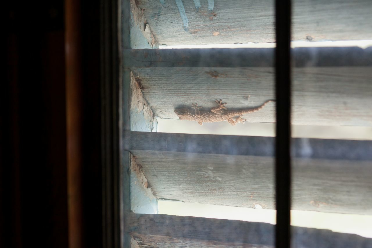 Window Glass - Material Transparent Indoors  Curtain Day Close-up No People Drapes  Wood Wood - Material Drops Lizard Animal Themes Animal Animal Wildlife