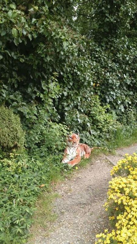 Walking home from town and came across this, gave me the fright of my life, thought a Tiger had escaped from a Zoo, need glasses! Fright Frightened  Frightening Moment Frightening Tiger Big Cat Stuffed Toy Stuffed Animal Escaped Escape From The Zoo Nature Zoo Zoo Animal Greenery Foliage Nature Nature_collection Nature Photography Illusion Bad Vision Green Leaves Yellow Flowers Dirt Path Not Real Realistic
