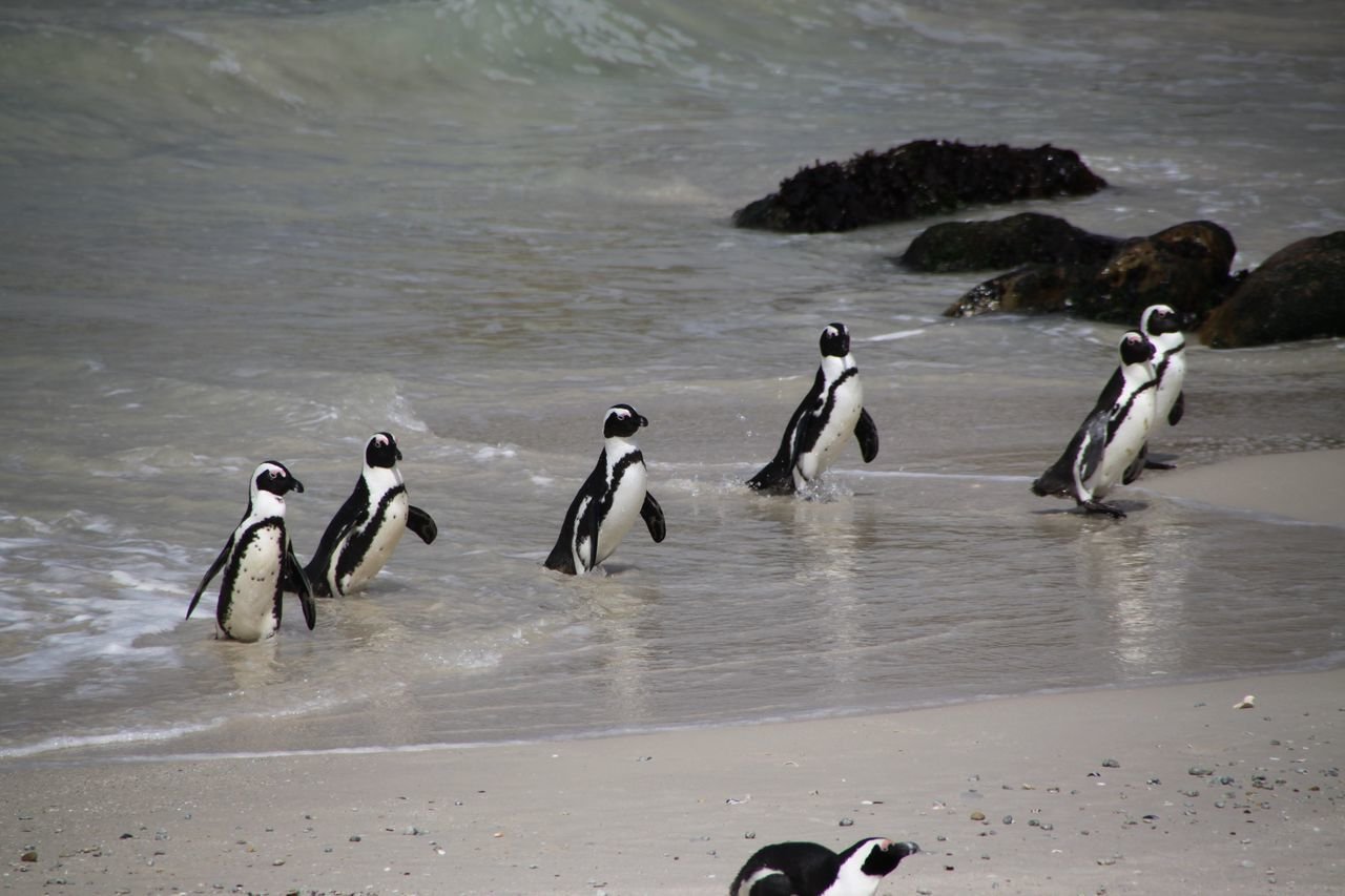 Pinguin Animals Bird Birds Boulders Beach Bouldersbeach Penguin Penguins Pinguin Pinguine Vogel
