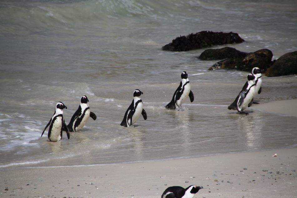 Beautiful stock photos of penguin, Animal Themes, Animal Wildlife, Animals In The Wild, Beach