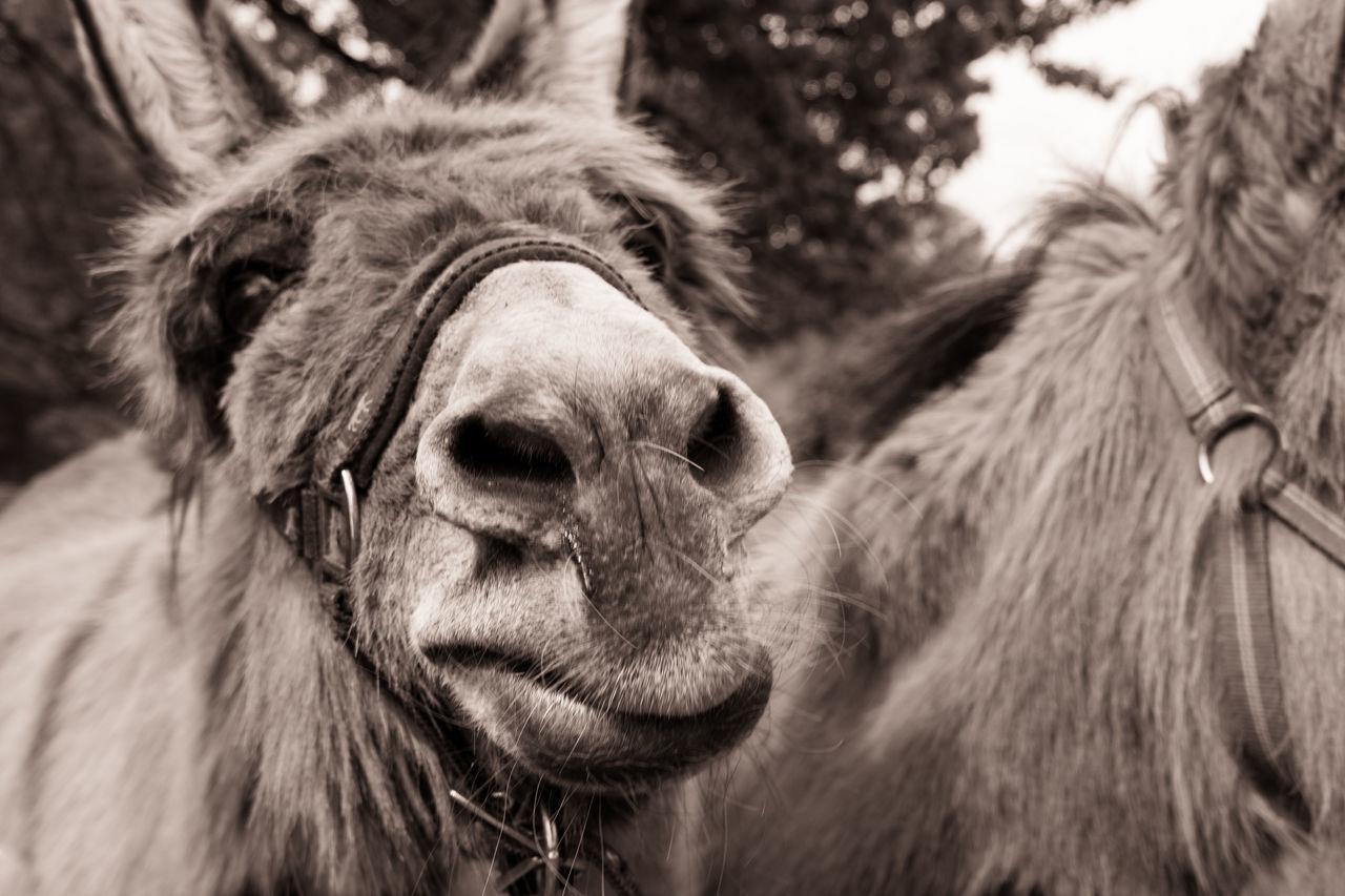 Close-up of a Donkey 😄 Animal Animals Black And White Blackandwhite Capture The Moment Close-up Donkey Donkeys Funny Horses Monochrome Outdoors Two Animals